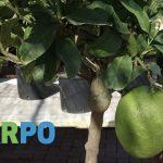 Vendita agrumi in vaso - Garpo