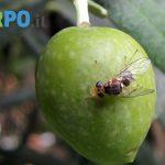 Eliminare la mosca dell'ulivo - Garpo